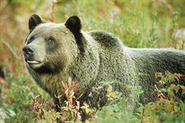 Picture of Banff Discover Grizzly Bears Tour