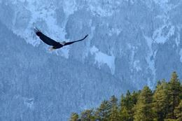 Picture of Winter Eagle Viewing Float - ADULT