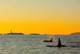 Picture of Victoria Sunset Whale-watching Cruise