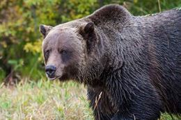 Banff Grizzly Bear Refuge Guided Tour