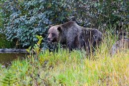 See Grizzly Bears in refuge habitat Banff Tour