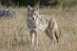Coyote on Banff Tour, Evening Wildlife Safari